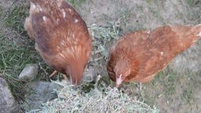 Hens feeding at a farm stock video footage