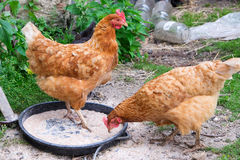 Hens feeding Stock Images