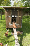 Hens, henhouse. Free-roaming brown hens coming out the handmade moveable hen house Stock Images