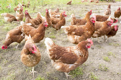 Hens. Free-roaming brown hens on meadow Stock Photography