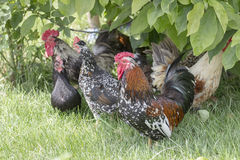 Hens in grass Stock Photography