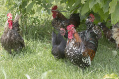 Hens in grass Royalty Free Stock Images