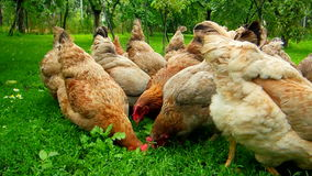 Hens green yard Stock Photo