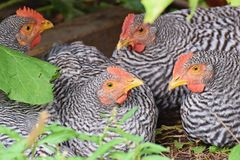 Chicken group, Amrocks, Amrox breed stock photography