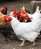 Hens. A group of hens, white and brown Stock Images