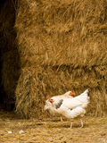 Hens in the hay Stock Photography