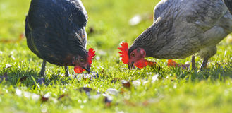 Hens. Hen in the garden on a farm - free breeding Royalty Free Stock Image