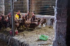 Hens in the hen house Stock Images