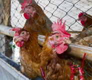 Hens in henhouse Royalty Free Stock Images