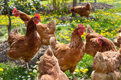 Hens In The Meadow Royalty Free Stock Images