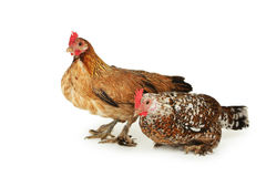 Hens isolated on a white Royalty Free Stock Image