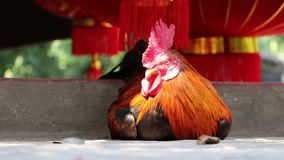 The hens laying down on the concrete floor and out focus red lantern. stock video footage