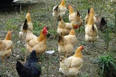 Hens Royalty Free Stock Photos