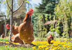 Hens in the meadow Stock Photo