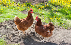 Hens in the meadow Stock Images