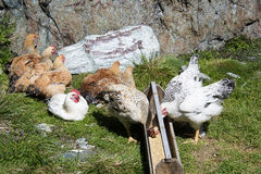 Hens. On a mountain meadow Royalty Free Stock Photography