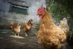 HENS  IN THE NATURE Stock Photo