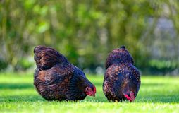 Pair of adult Wynadotte hens seen looking for food in a garden. The hens, part of a small, domesticated flock are allowed to run free in a private garden Stock Image