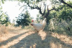 Hens pecking in a field stock images
