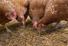 Hens Pecking Money. Free-range hens pecking curiously coins from the barn floor. No animals were injured or harmed in the making of this picture royalty free stock photography