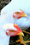 Hens in the poultry-yard Royalty Free Stock Photos