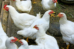 Hens in the poultry-yard Stock Photography