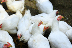 Hens in the poultry-yard. White hens in the poultry-yard in the village Stock Images