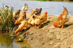 The hens at the riverside. In remote villages, chickens are stocked which are put in a wild field place to breed, and hens, roosters or chicks are free to find Stock Images
