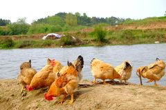 The hens at the riverside. In remote villages, chickens are stocked which are put in a wild field place to breed, and hens, roosters or chicks are free to find Royalty Free Stock Image