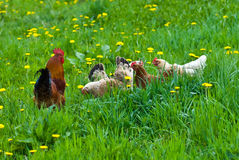 Hens and rooster. In the meadow Stock Images