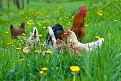 Hens and rooster. In the meadow Royalty Free Stock Image