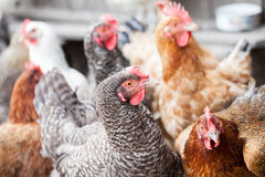 Hens and rooster Stock Photo