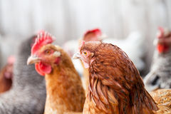 Hens and rooster. In the backyard Stock Image