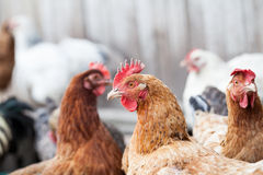 Hens and rooster. In the backyard Royalty Free Stock Photo