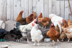 Hens and rooster. In the backyard Royalty Free Stock Images