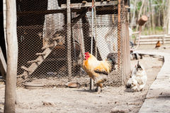 Hens and rooster. In the backyard Stock Photography