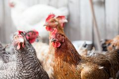 Hens and rooster in the backyard. Resting Royalty Free Stock Image