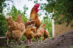 Hens with a rooster. Domesticated fowl Gallus gallus domesticus Royalty Free Stock Image