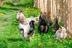 Hens and rooster Royalty Free Stock Photography