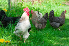 Hens and rooster Stock Image