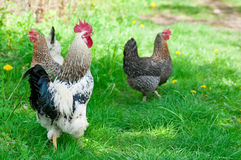 Hens and rooster Royalty Free Stock Photo