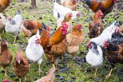 Hens and rooster raised an a organic farm. Rooster and hens  on organic farms are left free all day long Royalty Free Stock Images