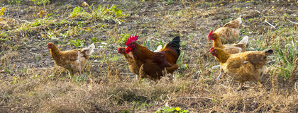 Hens and rooster searching for food Royalty Free Stock Photos