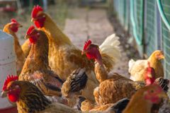 Hens and roosters Royalty Free Stock Photos