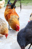 Hens and roosters Royalty Free Stock Image