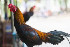 Hens and roosters Stock Image