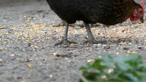 Hens and roosters eat food off the ground in a village yard close up view stock footage