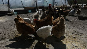 Hens and roosters eating stock video footage