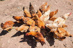 Hens and roosters eating Royalty Free Stock Photography