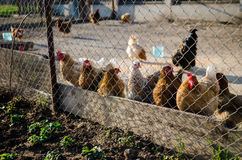 Hens and roosters Royalty Free Stock Photo